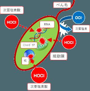 酸性電解水の除菌モデル 除菌の仕組み